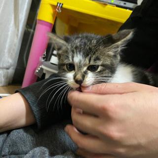 生後2ヶ月半くらいの子猫ちゃん − 愛知県