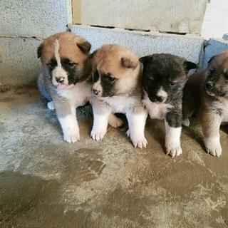 〈2月22日生まれ〉秋田犬の子犬