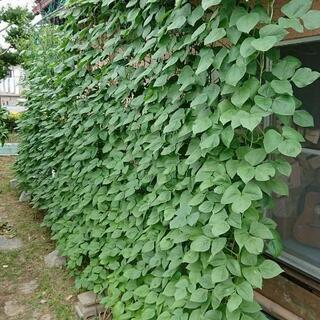 グリーンカーテンの種子、苗を無料で差し上げます‼️
