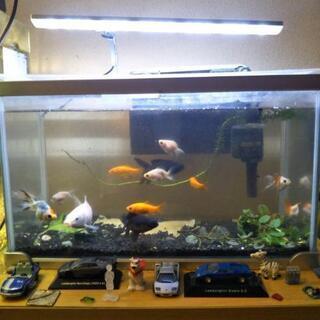 テトラ42cm水槽とLED照明と金魚、出目金、他めずらしい金魚、...