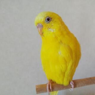 黄色いセキセイインコを捜しています