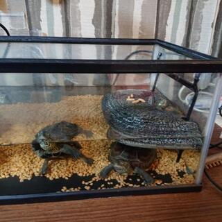 亀三匹あげます。水槽セット、餌1ヶ月付