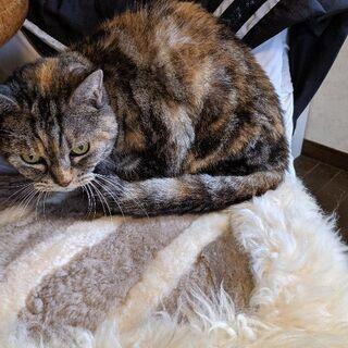 サビ猫? 雌猫です。の画像