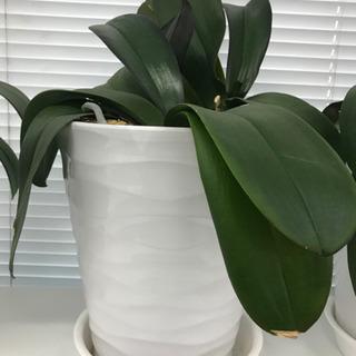 胡蝶蘭 鉢付き