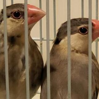 桜文鳥の子供(兄弟)2羽一緒に