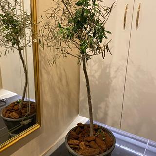 🍃幸せを運ぶオリーブの木🍃