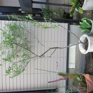 アキグミ 秋グミ 木 鉢底から140cm 4月の様子
