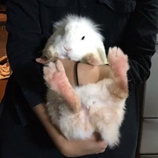 保護ウサギ(オス)