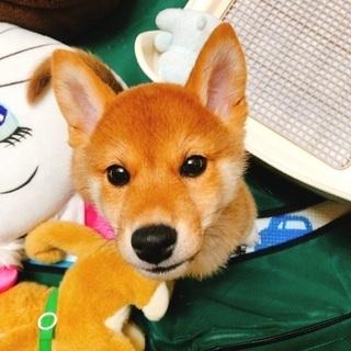 里親募集です。血統書付きの3ヶ月の柴犬です。