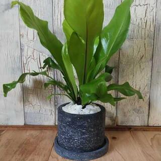 【観葉植物】アスプレニウム