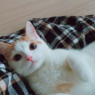 スコティッシュ(立ち耳) - 猫