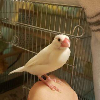 文鳥(メス)
