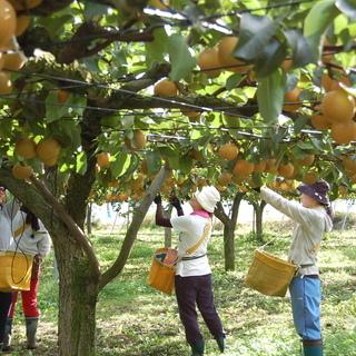 勤務日・勤務時間希望対応!梨の摘果作業(5月上旬から約1ヶ月)