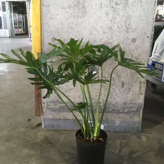 観葉植物 セローム