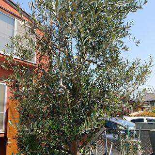 オリーブの木 挿し木 至急20日まで!