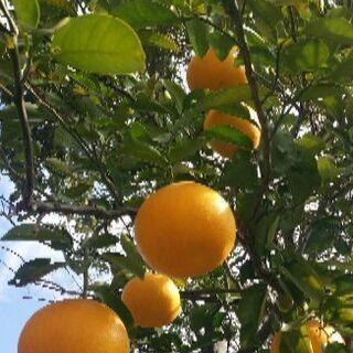 無農薬 はっさく 柑橘類 2kg ♪物々交換可
