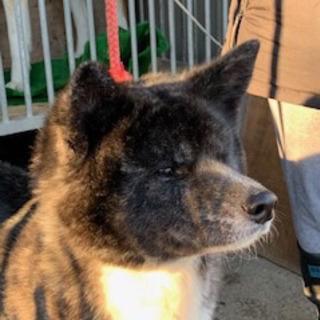 秋田犬 2歳 牝