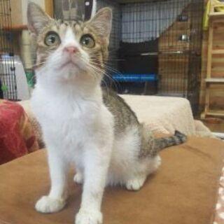 人間大好きな子猫ちゃん 生後3か月のさくらくん