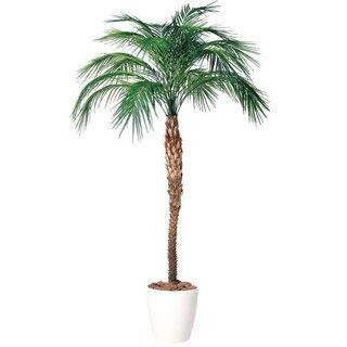 不要になった南国ムードの観葉植物フェニックスかアレカヤシ系を格安...