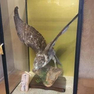 鷹の剥製 ケース付き