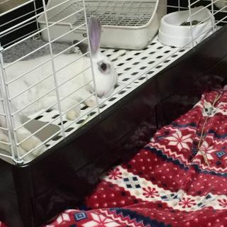 ミニウサギ 里親募集しています!