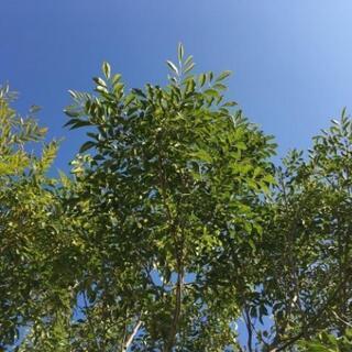 樹木 シマトネリコ 植物