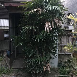招福 棕櫚竹「シュロチク」の鉢物