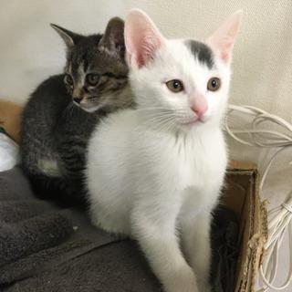 黒いブチのある白猫。子猫1月25 日生。
