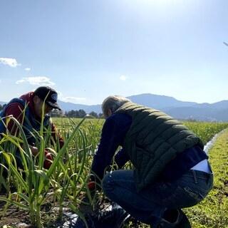 【食育・環境】in滋賀県高島市 「にんにく」の収穫ボランティア募集