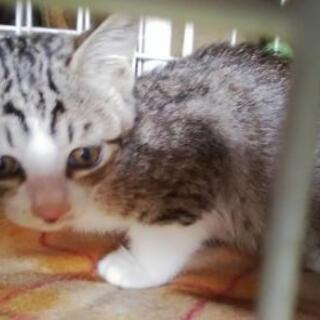 兄妹のキジ白、キジ、3ヶ月位の可愛い子猫 兄妹2匹でもらって下さ...