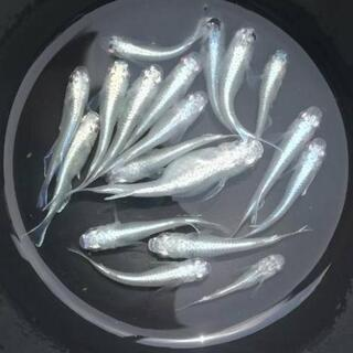 メダカ(楊貴妃、幹之、白幹之、斑、透明鱗、MIX)の若魚