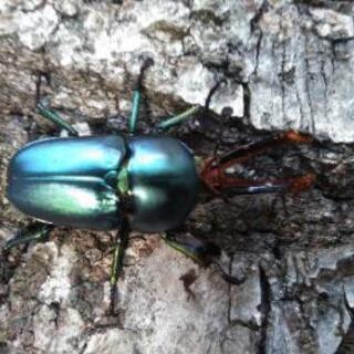 パプアキンイロクワガタ幼虫