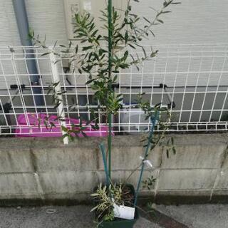 オリーブの木 ネバディロブランコ