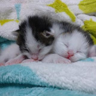 生後約一週間 子猫2匹