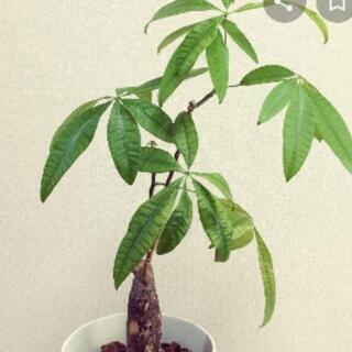 パキラ、ゴムの木、観葉植物