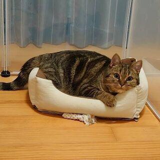 猫アレルギー発症のため里親募集 一歳 スコティッシュフォールド