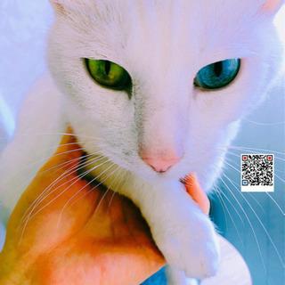 おっとり可愛い白猫あさがおちゃん