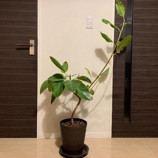 観葉植物(アルテシーマ)