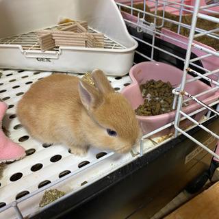ネザーランドの子ウサギ