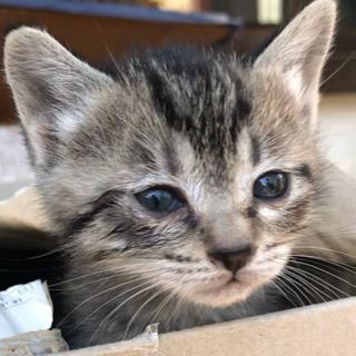 ★★お話し中★★★ 生後約1ヶ月 子猫 グレージュ キジトラ