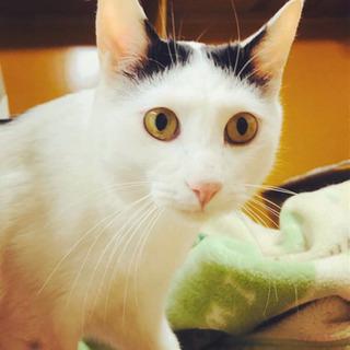 人が大好き甘えん坊☆日本猫の八雲くん2才