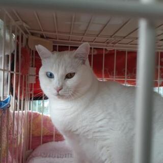 オッドアイのふくよかすぎる白猫さん
