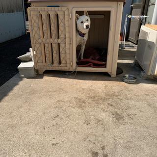 紀州犬混じりの雑種 急募 イノシシ除けに