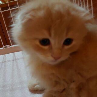 可愛いマンチカンの仔猫あげます