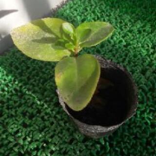 おかわかめ 栄養価が高く健康食材で栽培しやすい!