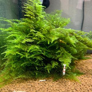 レッドビシュリンプ 熱帯魚