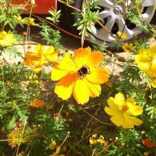 黄花コスモスの種 小さな紙袋にいっぱい