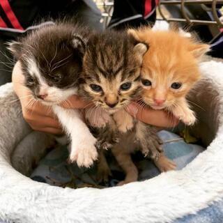 応募多数の為一旦終了 仔猫の里親募集です!
