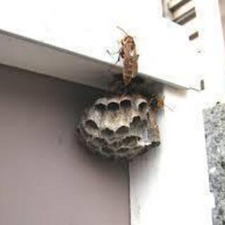 アシナガバチの営巣駆除5000円~  蜂 ハチ