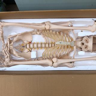 差し上げます。骨格模型 ヒューマンスカル 定価2.1万円ほど 部...